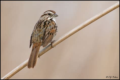song sparrow page