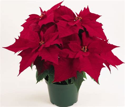 top 28 poinsetta care how to care for poinsettias phillip s natural world 1 0 3 how to