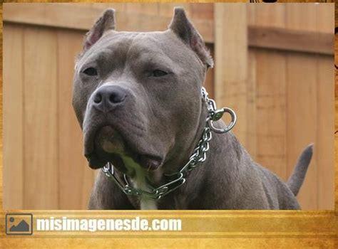 imagenes de perros pitbull blue fotos de pitbull blue en venta ciudad de guatemala car