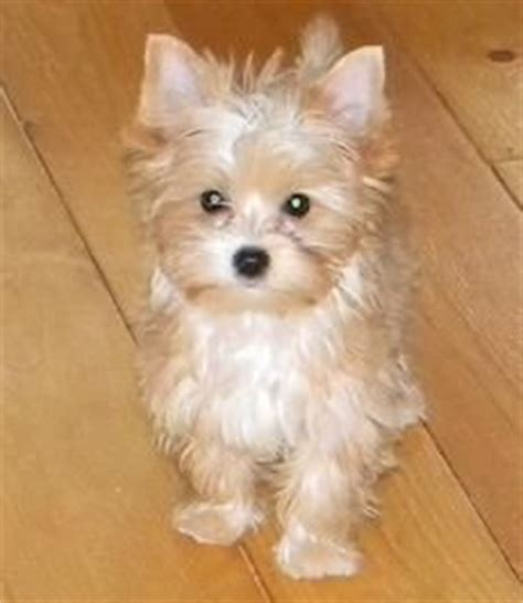 44 best images about gregory s blondie other yorkie s on 44 best images about gregory s blondie other yorkie s on