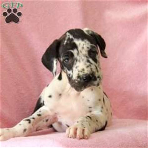 great dane puppies pa great dane puppies for sale in de md ny nj philly dc and baltimore