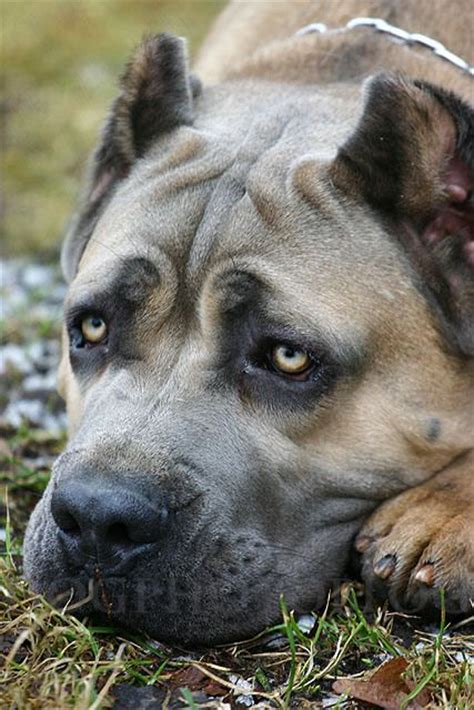 Do Mastiffs Shed 17 best images about dogs on goldendoodle