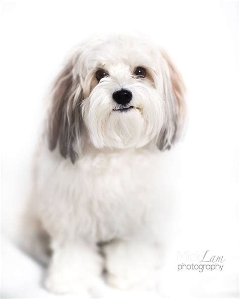 my havanese 45 best images about havanese on toys havanese puppies and central park