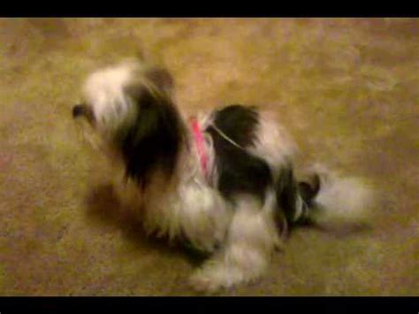 shih tzu heat shih tzu in the heat breeds picture