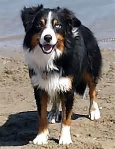 belgian sheepdog pictures dog herding breeds related keywords amp suggestions dog