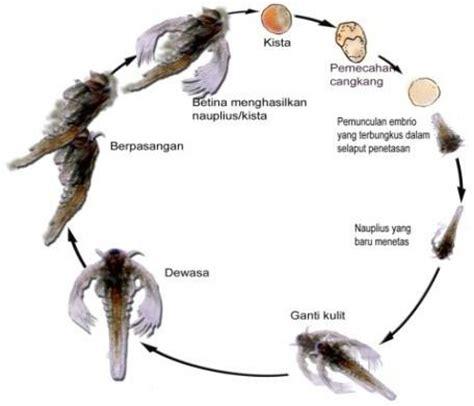 Pakan Ikan Naupli Artemia budidaya artemia untuk pakan alami ikan perikanan