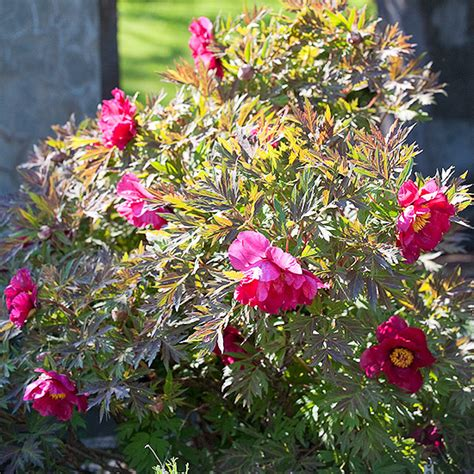 peony the best varieties for your garden books top tree peony varieties