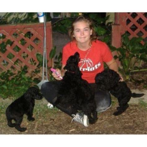 poodle rescue northwest indiana birdpatch kennels poodle standard breeder in ellettsville