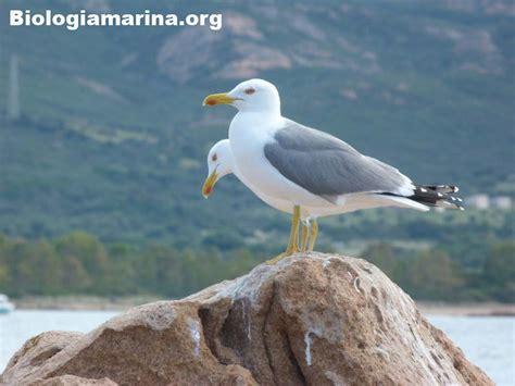 gabbiano reale mediterraneo gabbiano reale la coppia biologia marina mediterraneo