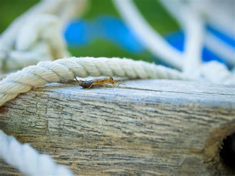 what attracts bed bugs what attracts earwigs aai pest control