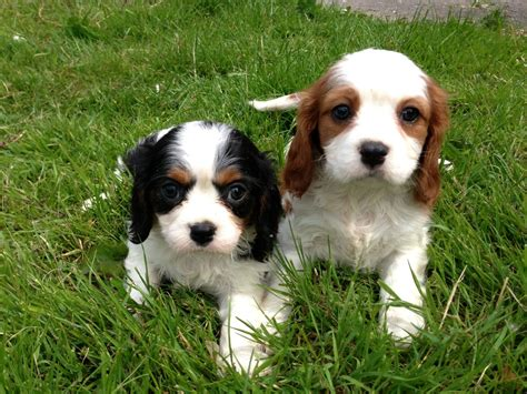 king charles cavalier puppies gorgeous cavalier king charles spaniel puppies stoke on trent staffordshire
