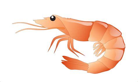 clipart domain free shrimp clipart 1 page of domain clip image