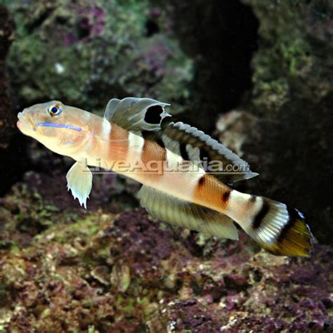 Tiger Sleeper Goby by A Closer Look At Sleeper Gobies Genus Valenciennea