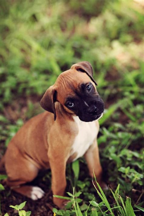 baby boxer baby boxer puppy breeds picture