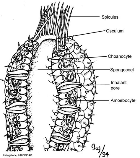sponge diagram sponge diagram worksheet www pixshark images