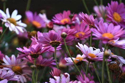 landscape daisy flowers