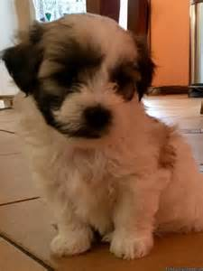 brown teddy puppies for sale teddy puppies for sale classifieds
