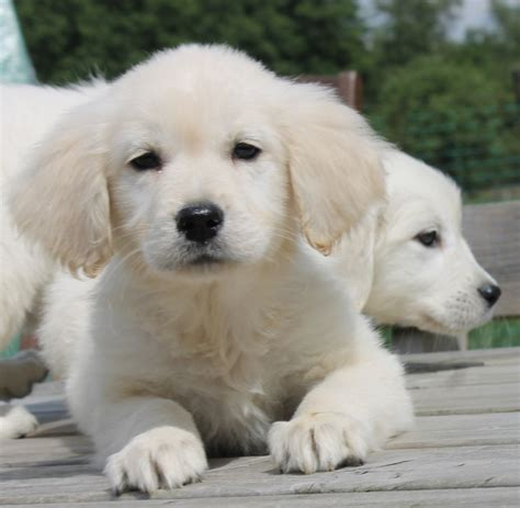 golden retriever to buy golden retriever puppy do you want to buy one