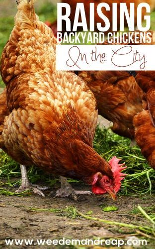 Can I Raise Chickens In My Backyard Best 25 Backyard Farming Ideas On Do You Need Greenhouse Gardening And Living