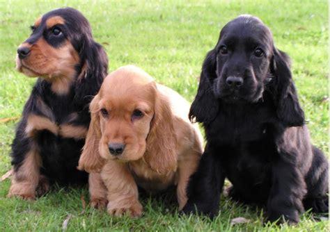 perros de raza cocker imagenes raza cocker spaniel ingl 233 s perros cocker spaniel ingl 233 s