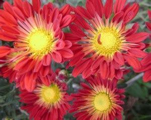 imagenes de rosas vivas los crisantemos bellas flores de oto 241 o flores jardin