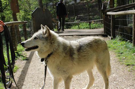 spaziergang mit einem wolf innere stadt