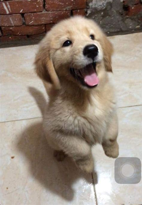 imgur golden retriever adorable happy golden retriever puppy justviral net