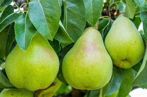 fruit zone what fruit trees grow in zone 6 tips on choosing fruit