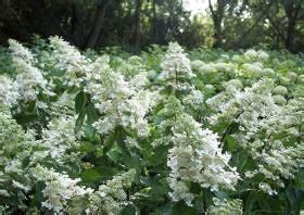 wann pflanzt hortensien hortensien pflege schneiden hydrangea macrophylla