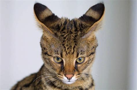 Top 12 Most Expensive Cat Breeds In The World: Savannah vs