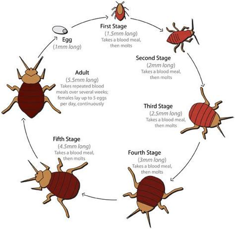 bed bugs pictures stages bed bug life cycle