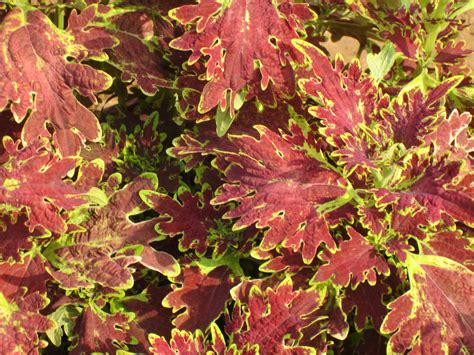 coleus plants smallhomegardens2012