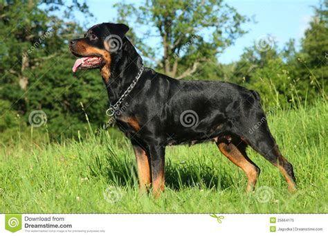 purebred rottweiler purebred rottweiler on green grass stock image image 25664175