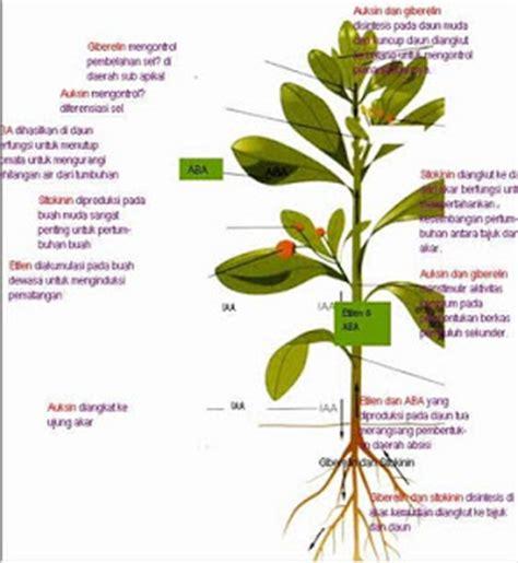 Jual Bibit Anggrek Kultur Jaringan zat pengatur tumbuh zpt pada kultur jaringan tanaman