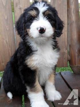 bernese mountain puppies michigan f1 bernedoodle puppies bernese mountain poodle cross for sale in hastings