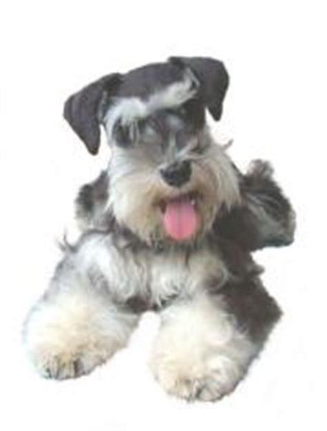 miniature schnauzer puppies for sale in iowa maker s puppies miniature schnauzers happy customers