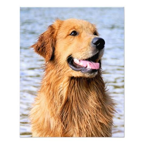 golden retrievers review golden retriever reviews and pictures breeds picture