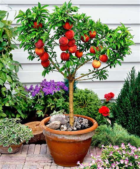 miniature fruit trees bonanza tree is a song