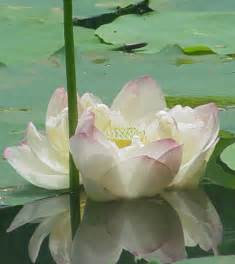 Lotus Growth Enjoy The Fragrance Of Flowers Spiritual Qualities Of The