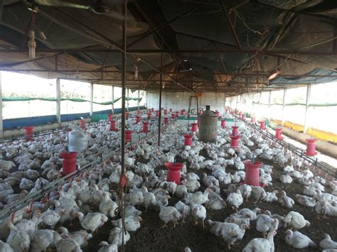 2015 nigeria poultry business plan for layers and broilers starting a poultry farm for beginners a business plan