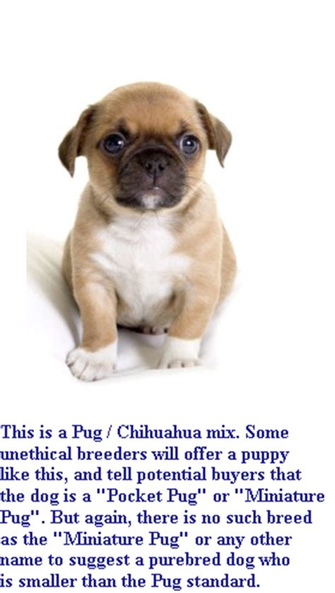 pocket pugs pashudhan and animal science teacup pug miniature pug pocket pug tiny