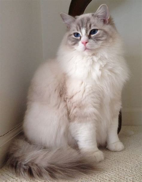ragdoll 1 year coopurr at 1 year coopurr is a bluepoint lynx high