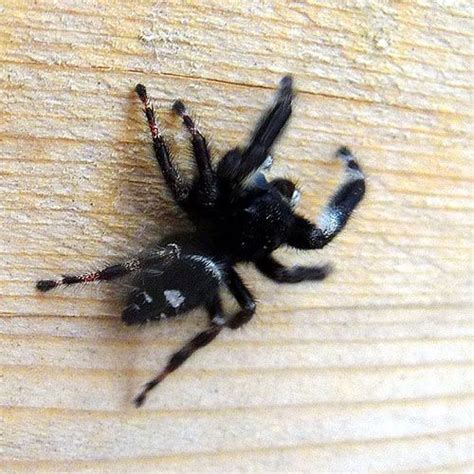 Garden Jumping Spider Poisonous Spiders That Are Black And White Pictures To Pin On