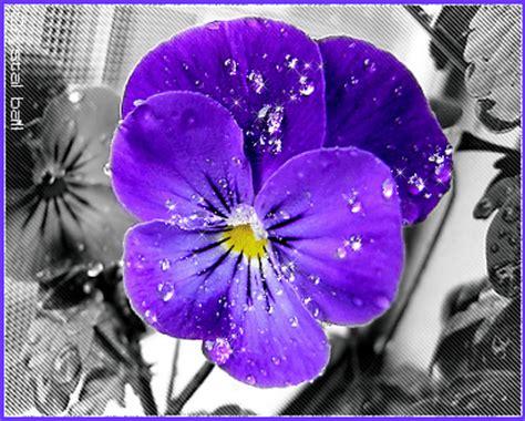 violetta fiore i fiori parlano violetta