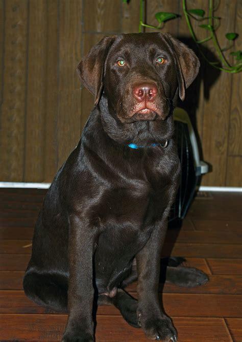 chocolate labrador retriever puppy  months