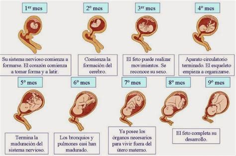 Calendario De Embarazo Semana A Semana Embarazo Semana A Semana Imagenes Y Polloviral