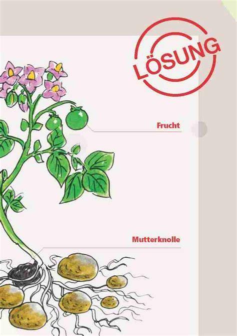 Beschriftung Kartoffelpflanze by Agriscuola Unterricht Zu Landwirtschaft Und Ern 228 Hrung