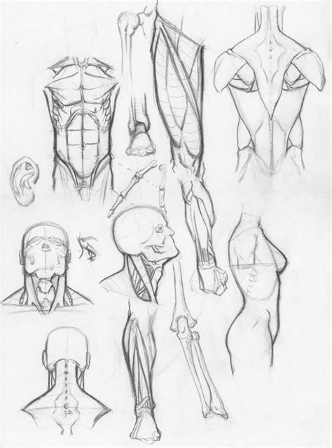 random anatomy sketches by rv1994 on deviantart