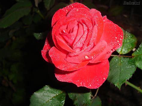 imagenes de lindas rosas fotos rosa lindas