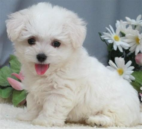 maltipoo puppies for sale ny teacup and maltipoo puppies available from puppy breeders on island new